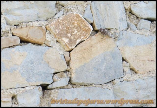 Gorrión molinero; el nido es el agujero que se ve en la esquina izquierda abajo (22-6-2013)