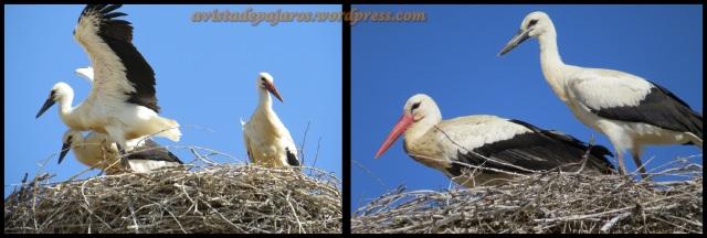 Cigüeña adula con dos de sus pollos (23-6-2013)