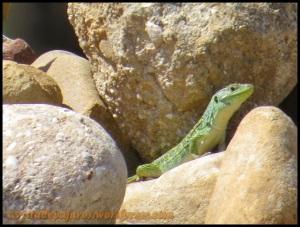 Uno de los lagartos ocelados vistos (24-6-2013)