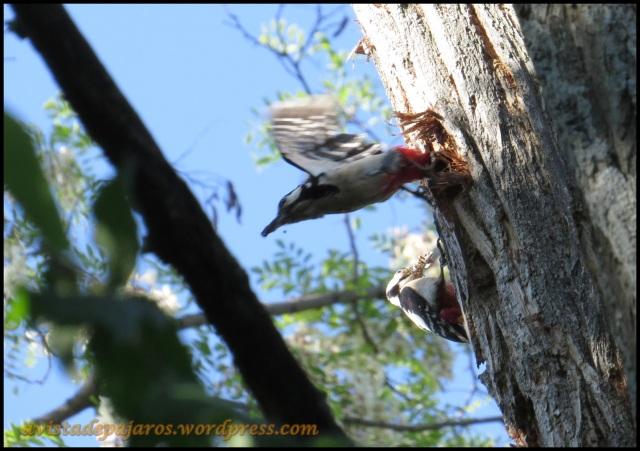 Macho saliendo del nido ante la atenta mirada de la hembra (5-6-2013)