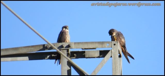 Pareja de halcones en lo alto de la torre (29-6-2013)