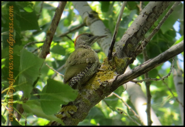 Pito real trepando por un árbol (23-6-2013)