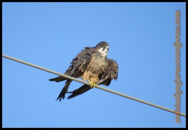 Halcón con el plumaje hinchado (29-6-2013)