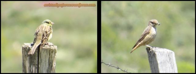 Hortelano a la izquierda y hembra de roquero a la derecha (4-6-2013)