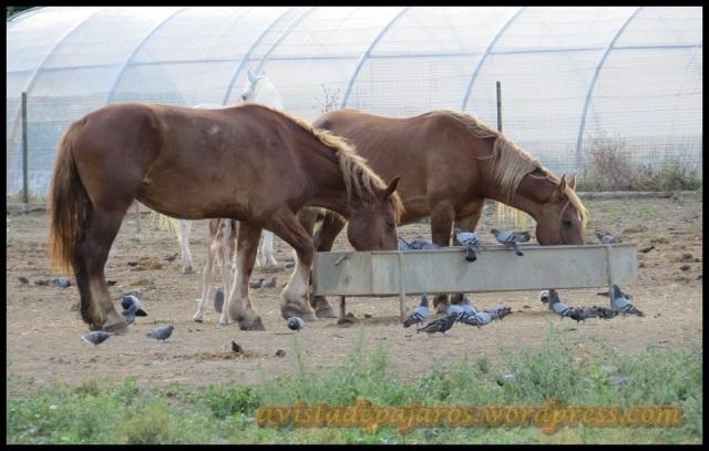 Palomas aprovechándose del alimento de los caballos (25-7-2013)