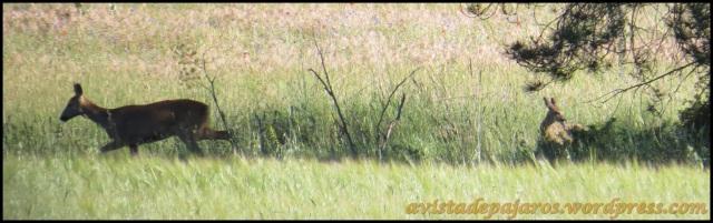 Corza con su cría (5-7-2013)