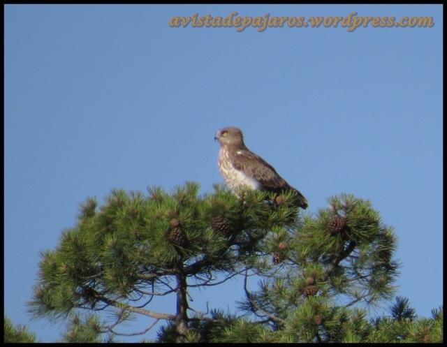 Águila culebrera (5-7-2013)