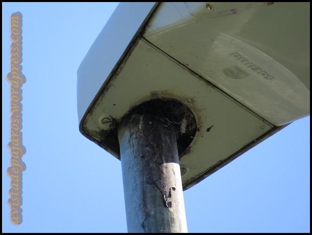 Cualquier hueco es aprovechado para la cría, como el hueco de esta farola, donde anidan gorriones molineros (26-7-2013)