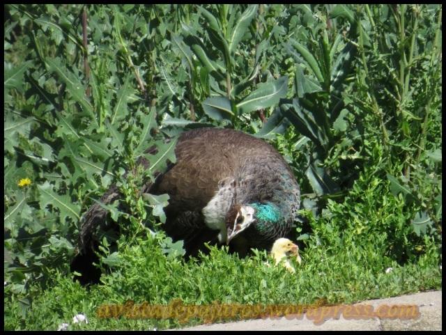 Una de las hembras de pavo real con pollos (30-6-2013)