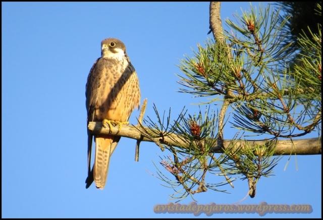 Primer halcón del día (5-7-2013)