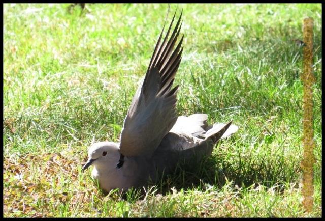 Tórtola turca estirando un ala (2-7-2013)