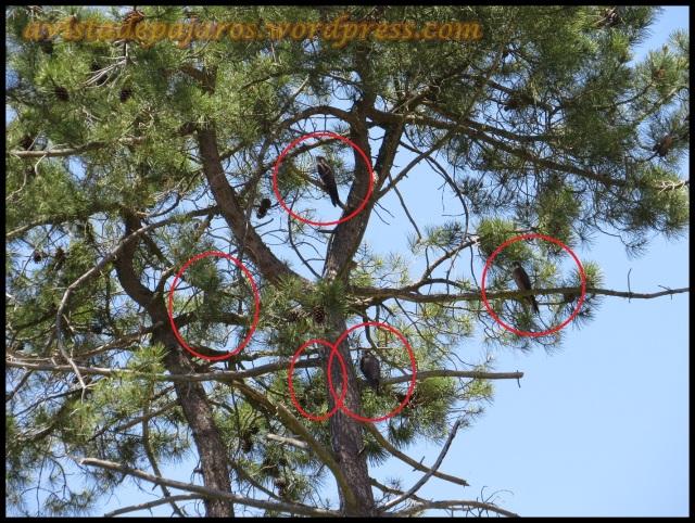 Pinar, con varios ejemplares de los que alguno no se aprecian bien por las acículas y ramas del pino (5-7-2013)