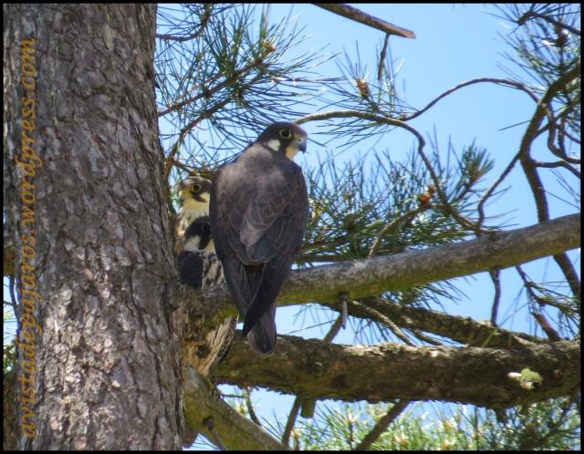 Tres de los halcones vistos tras comer (5-7-2013)