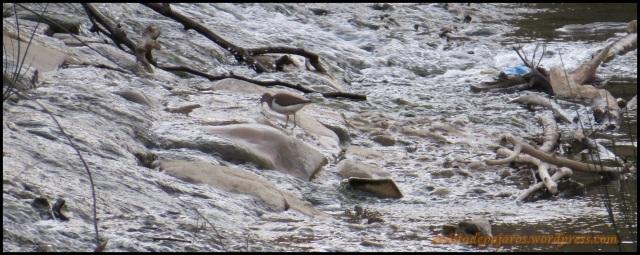 Andarríos en las aguas de la presa (24-8-2013)