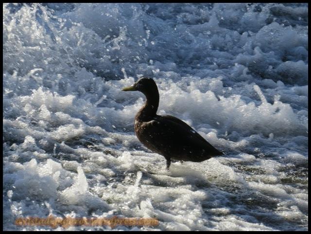 Ánade real en las aguas de la presa (20-8-2013)