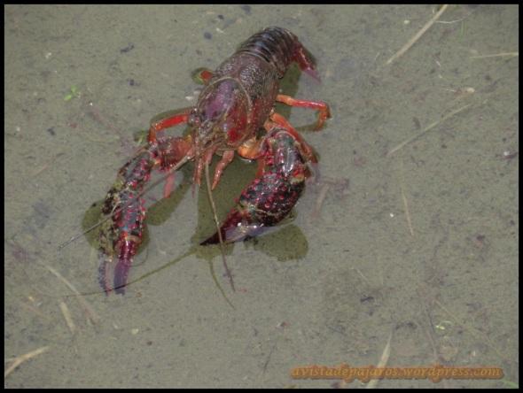 Cangrejo rojo en los fosos de la Ciudadela (23-8-2013)