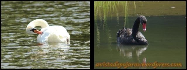 Cisne blanco y negro (2-8-2013)