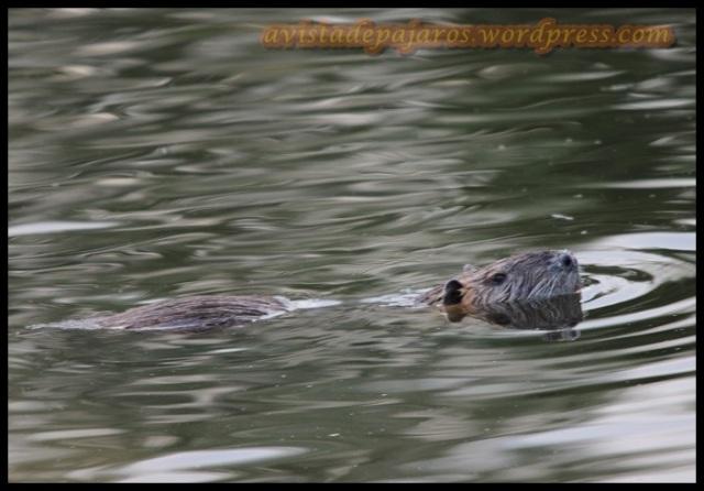 El primer avistamiento del día era un coipú (2-8-2013)