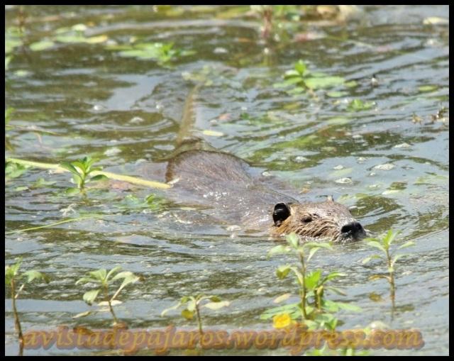 Coipu nadando (2-8-2013)