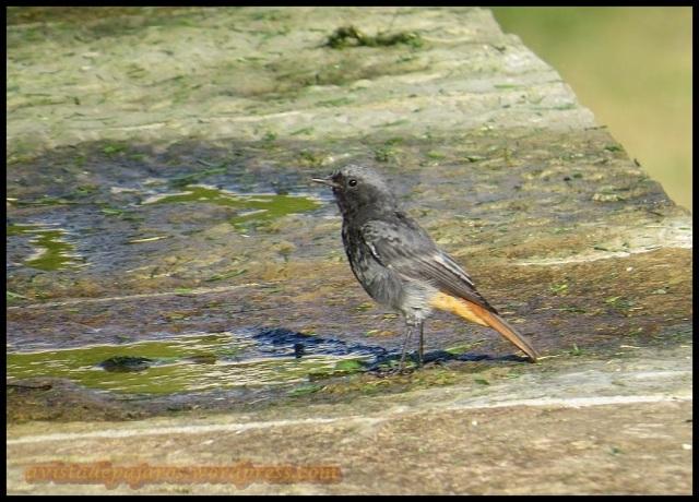 Vistoso macho de colirrojo (21-8-2013)