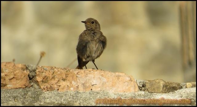 Uno de los colirrojos tizones que se ve sobre las murallas (21-8-2013)