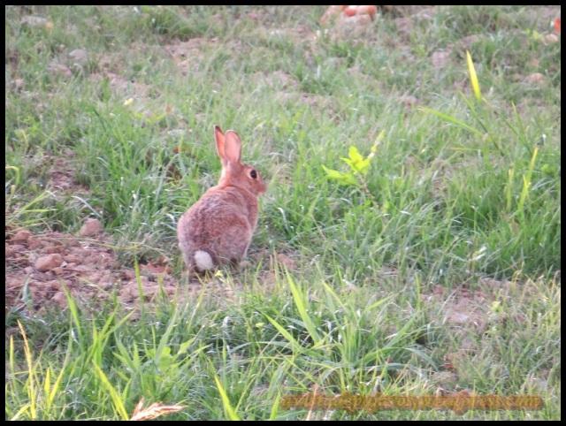 Conejo (14-8-2013)