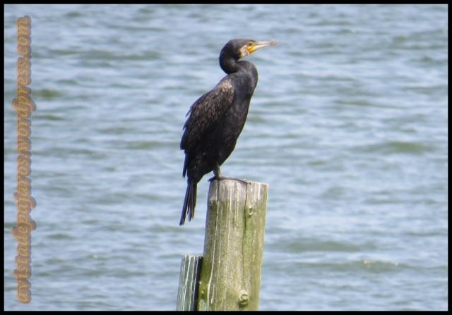 Uno de los cormoranes del lugar (2-8-2013)