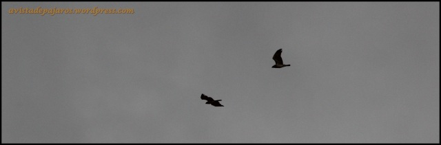 Pareja de águilas culebreras en vuelo (25-8-2013)