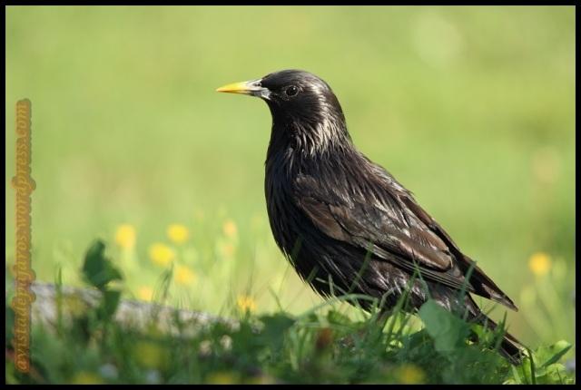 Precioso estornino negro (5-8-2013)