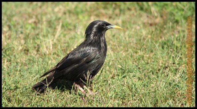 Estornino negro (5-8-2013)