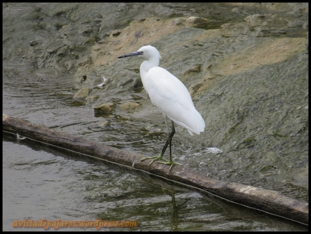 Garceta en la presa de Santa Engracia (25-8-2013)