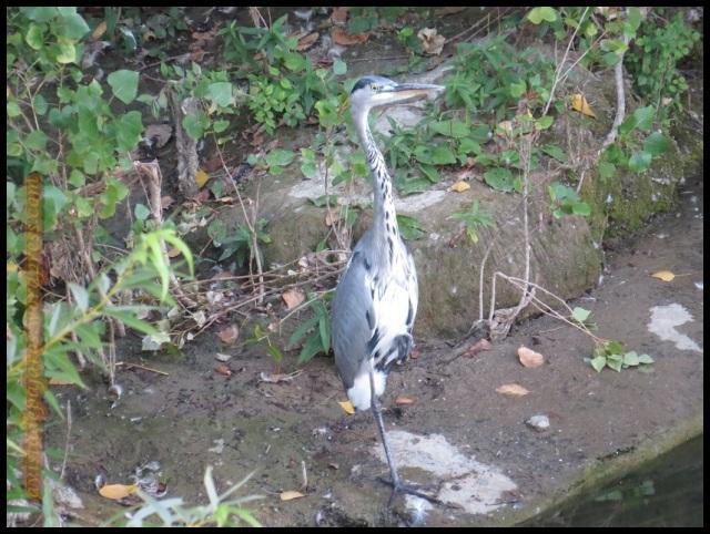 Garza escondida entre la vegetación del río al atardecer (24-8-2013)