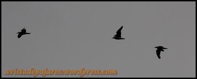 Gaviotas volando (2-8-2013)