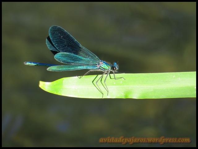 Con los calores el número de insectos aumenta, al igual que las libélulas (14-8-2013)