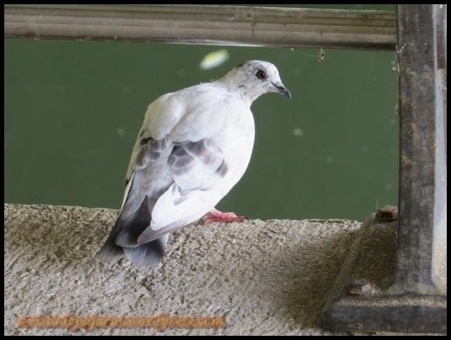 Preciosa paloma blanquecina (12-8-2013)