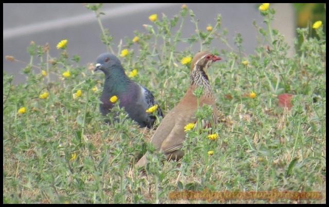 LA perdiz pensaba que pasaba desapercibida dentro del grupo de palomas (6-8-2013)