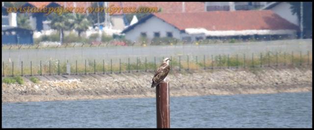 Imagen del águila pescadora en el entorno que habita durante estos últimas semanas (2-8-2013)
