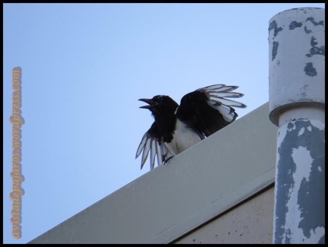 Picaraza reclamando a los padres en el tejado de un edificio (5-8-2013)