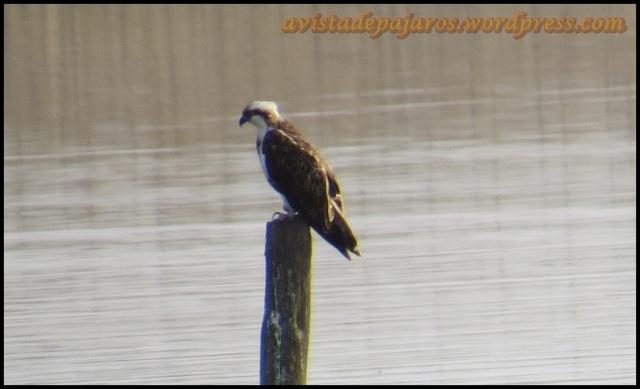 la pescadora estaba muy tranquila sobre el poste (2-8-2013)