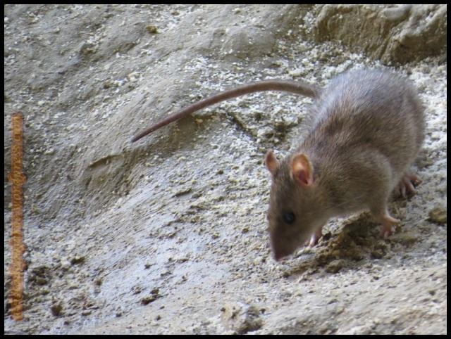 Rata olisqueando el suelo (12-8-2013)