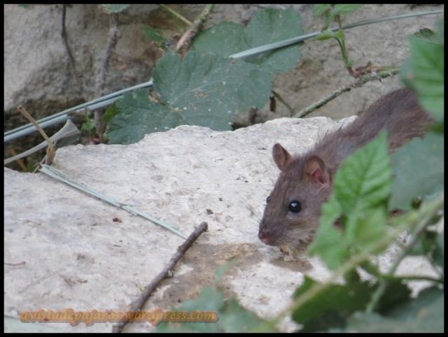 Una de las ratas avistadas (24-8-2013)