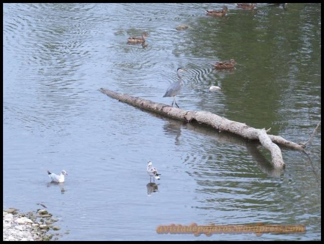 Imagen del río, con las gaviotas, una garza y varios ánades reales (6-8-2013)