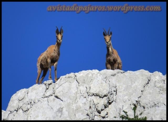 Una pareja de sarrios nos observaba desde bien arriba (1-8-2013)