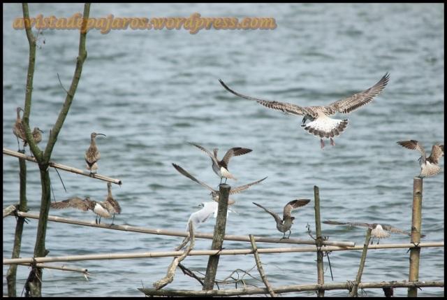 Una gaviota patiamarilla joven alteraba a las reidoras y zarapitos echándolos del lugar donde estaban posados (2-8-2013)