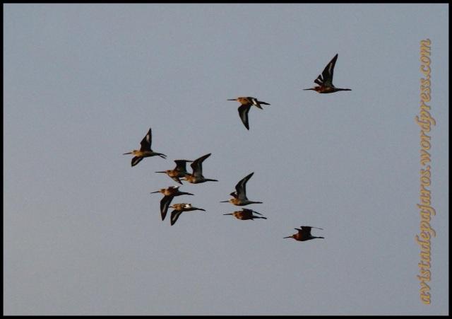 Bando de agujas en vuelo (11-9-2013)
