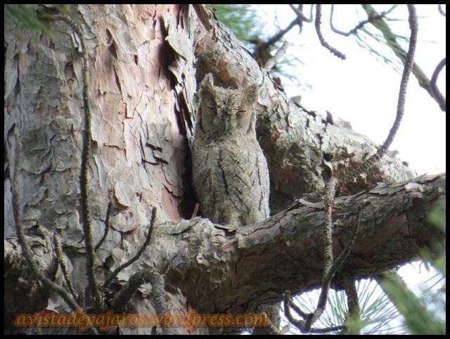 Autillo posado en un pino (27-8-2013)