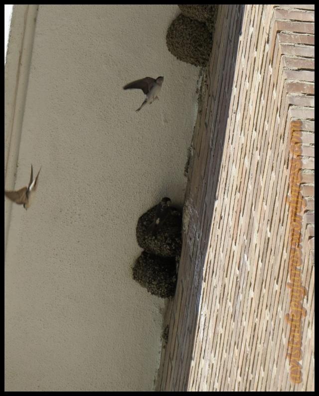 Aviones volando hacia los nidos (21-9-2013)