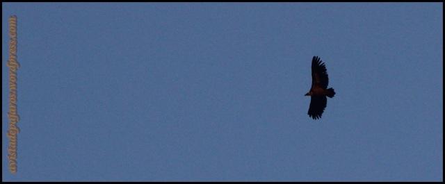 Uno de los primeros buitres en volar (29-8-2013)