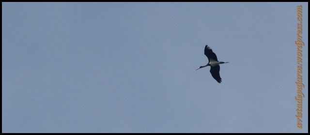 Alta pero inconfundible la cigüeña negra nos sobrevolaba (29-8-2013)