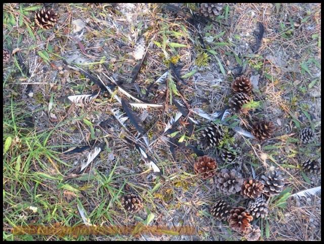 Plumas en el suelo de alguien que había sido presa (27-8-2013)